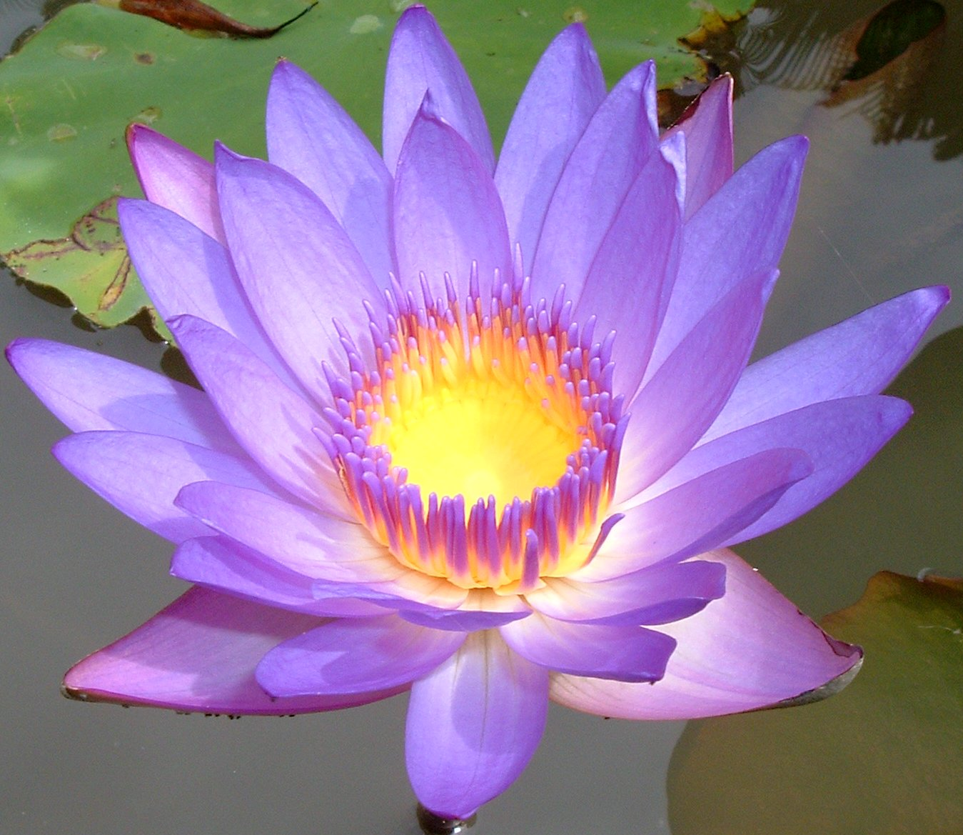 The Lotus Flower | Goddess Diaries