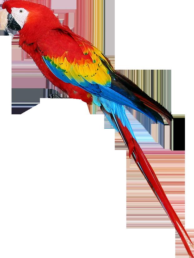 Parrot clip art - photo#20