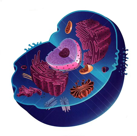 eukaryotic cell unlabeled - photo #1