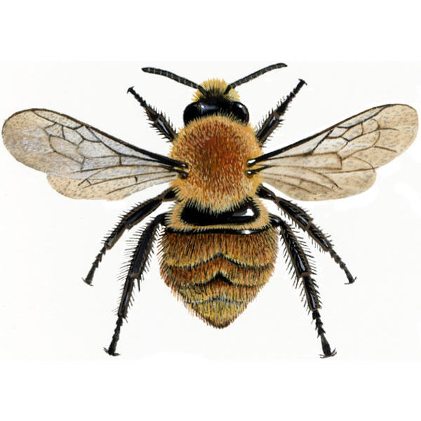 Bumblebee For Sale | Bees | Breed Information | Omlet