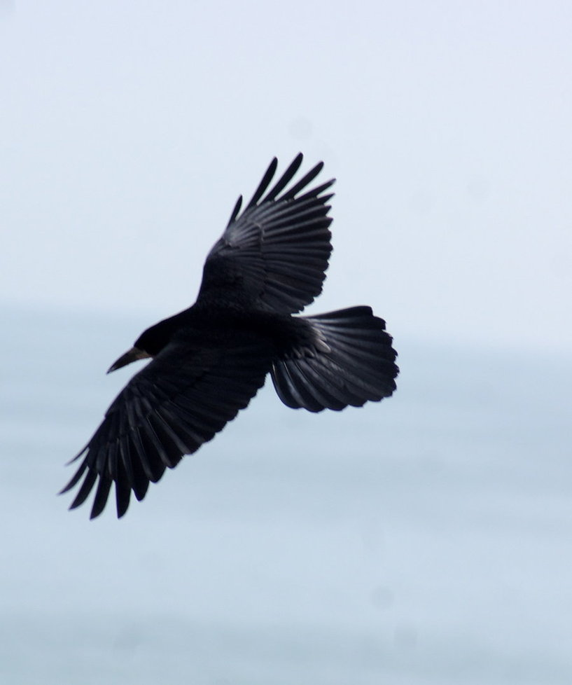 crows flying clip art