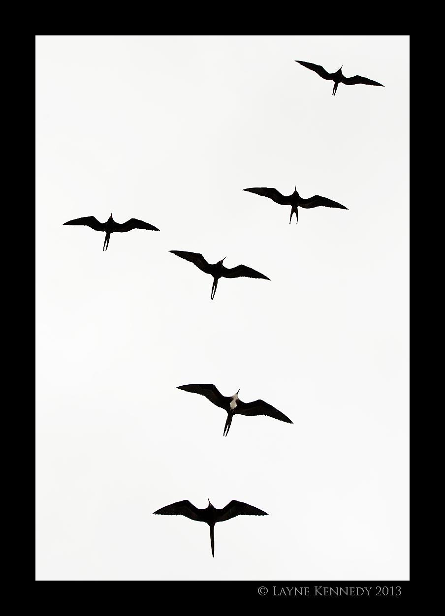 Frigate Bird Tattoo  Clipartsco