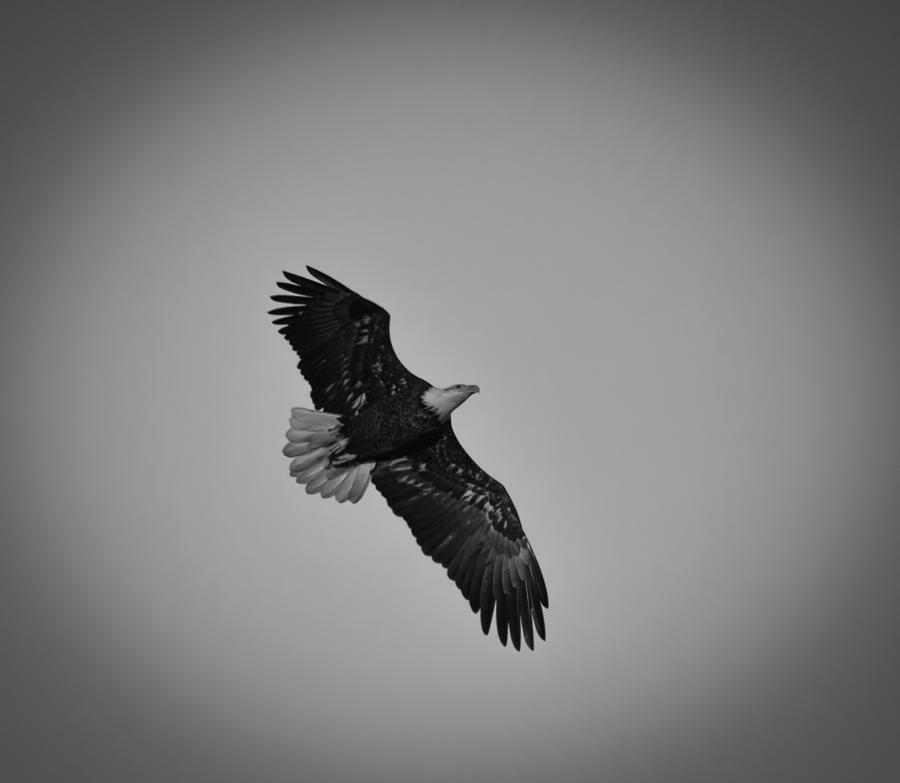 Black And White Eagle - Cliparts.co