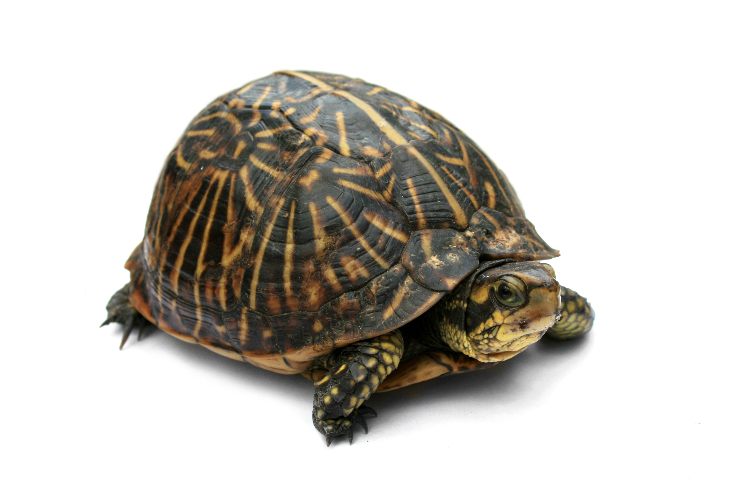 File:Florida Box Turtle Digon3.jpg - Wikipedia, the free encyclopedia