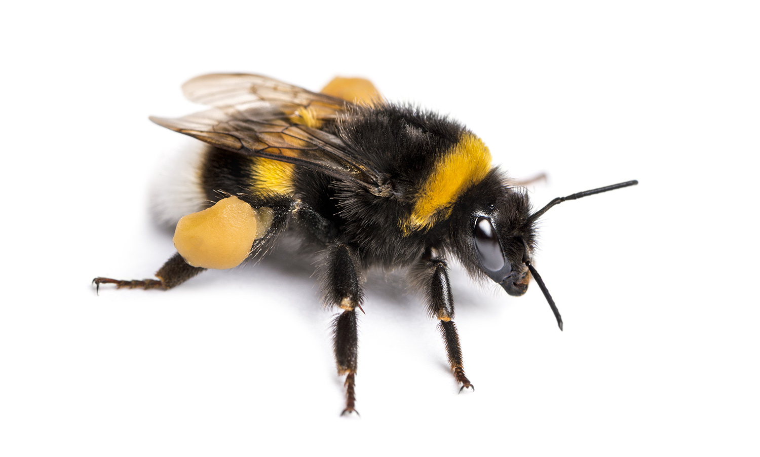 Know Your Bees: Bumblebees vs Carpenter Bees | Bug Banter - The ...