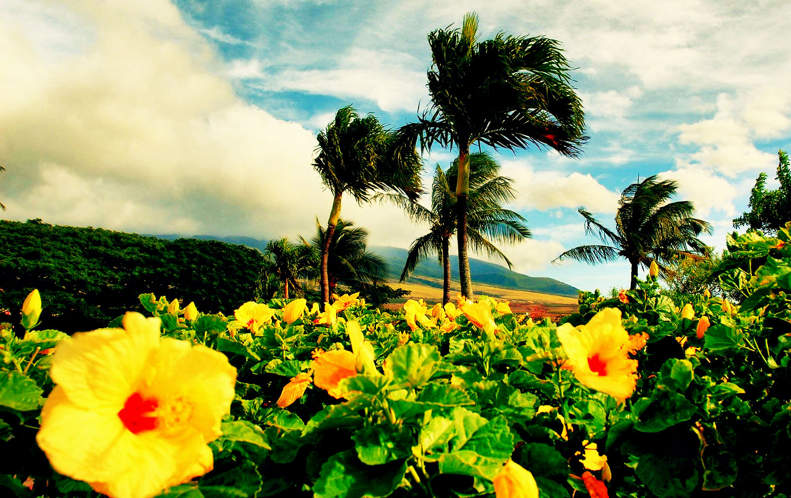 hawaii flores clipartsco