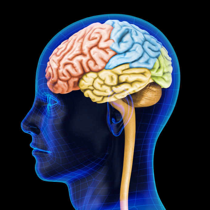 Structure Of Human Brain 392 Unlabeled Brain Diagram ...