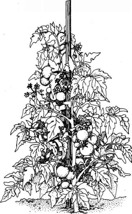 Colouring Images Of Tomato Plant - Cliparts.co