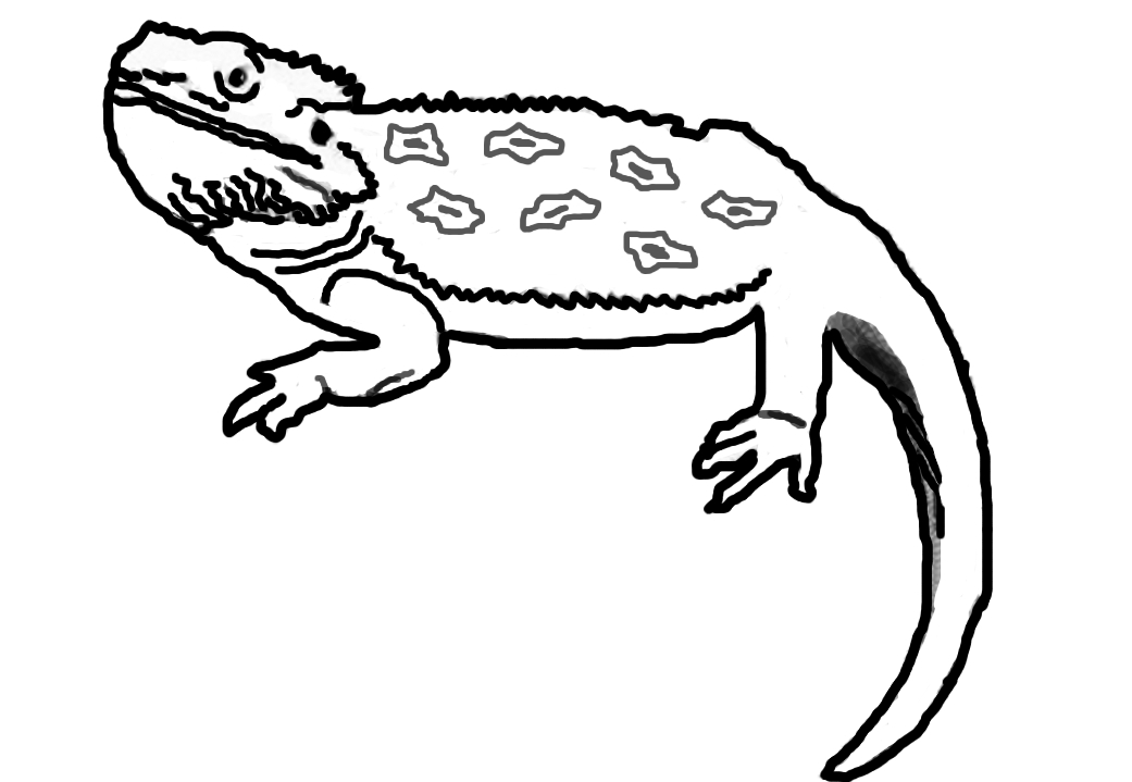 Cartoon Bearded Dragon Cliparts Co Bearded Coloring Pages