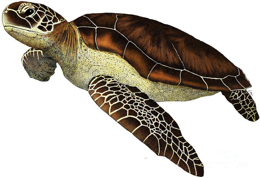 Line Drawing Sea Turtle : Scientific illustrattion of image a sea turtle