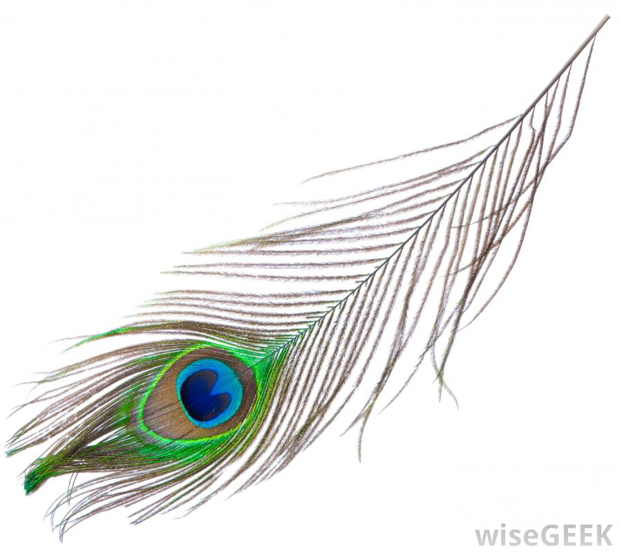 Peacock bird feather