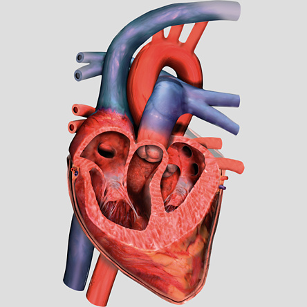 Unlabeled Heart Diagram - Cliparts.co