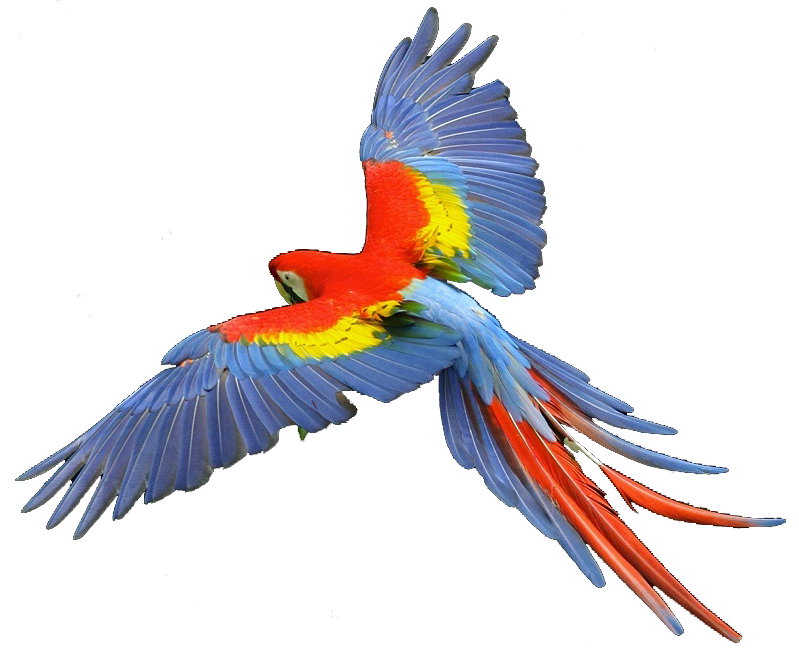 clipart parrot pictures - photo #33