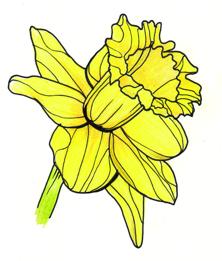 Line Drawing Daffodil : Drawings of daffodils cliparts