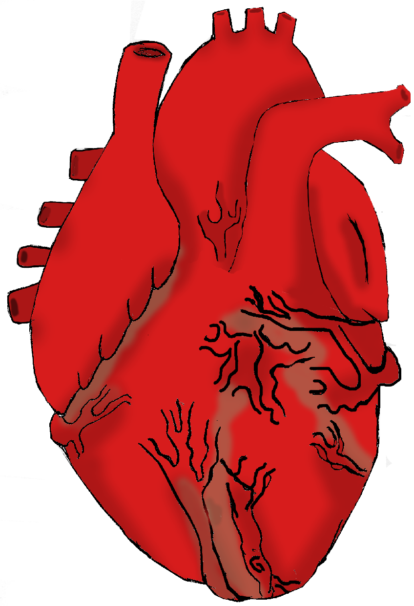 clipart of a human heart - photo #20