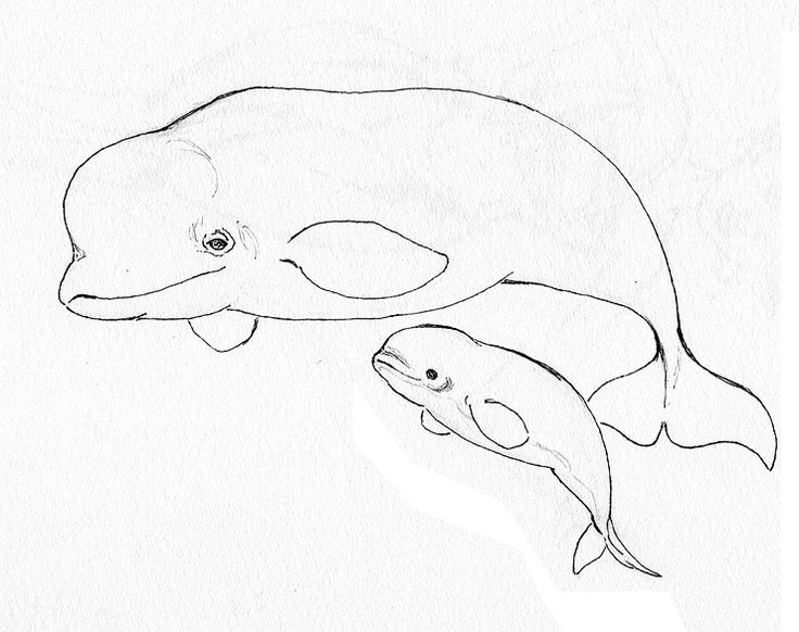 Beluga Whale Free Coloring Pages