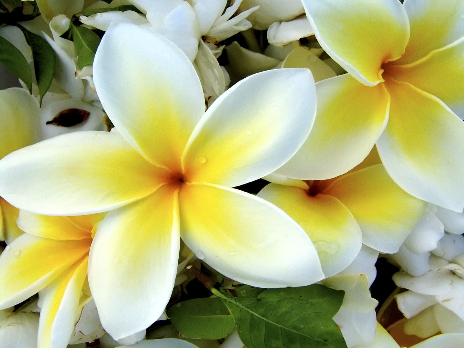 Hawaiian flowers name best flower 2017 an astounding of hawaiian flowers with names and pictures izmirmasajfo Choice Image