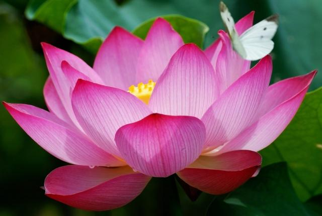egyptian lotus flower Off the beaten path adventure travel with a ...