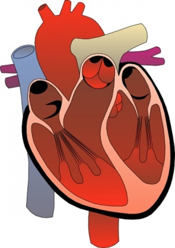 heart diagram unlabeled - cliparts.co, Muscles