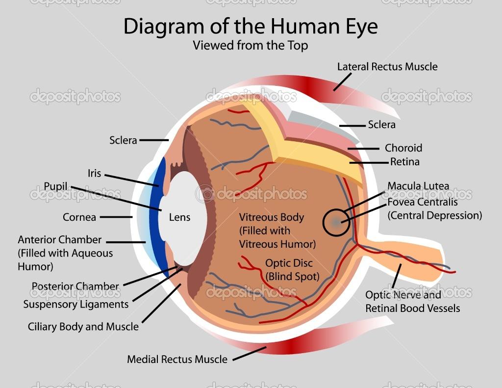 Cow Eye Diagram Labeled 25295 | LOADTVE