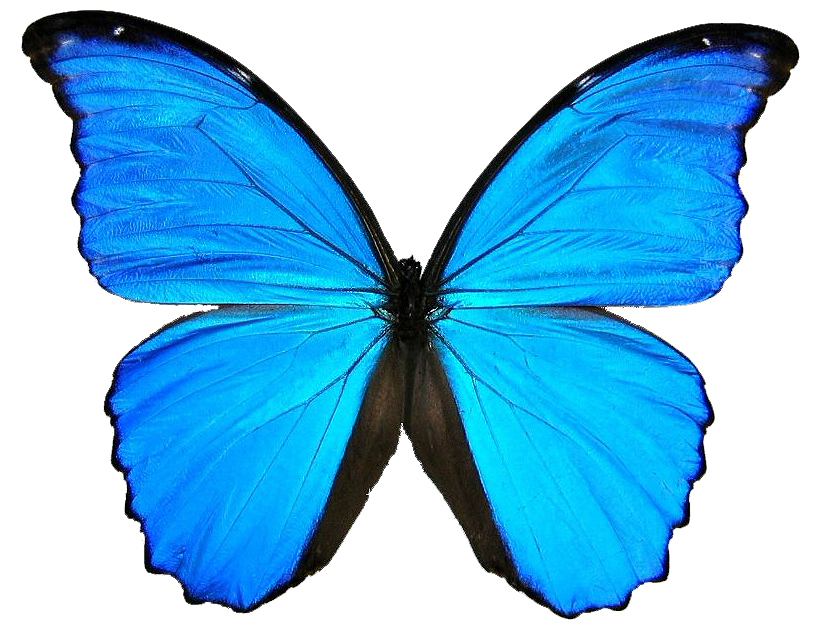 new blue butterfly pictures - photo #7