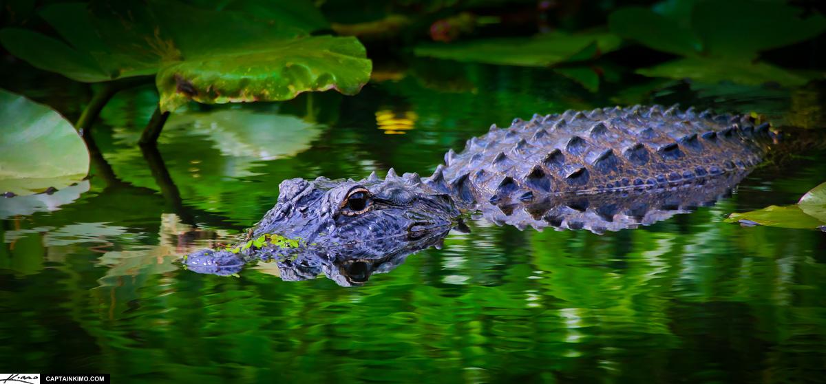 Everglades >> Green Alligator - Cliparts.co