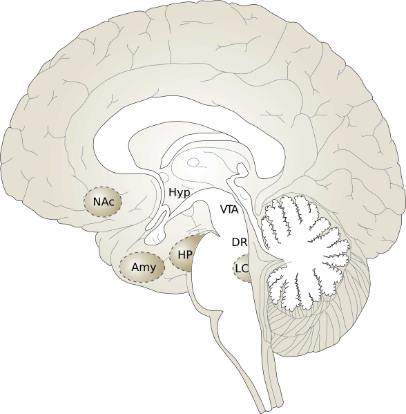 Unlabeled Brain Diagram - Cliparts.co