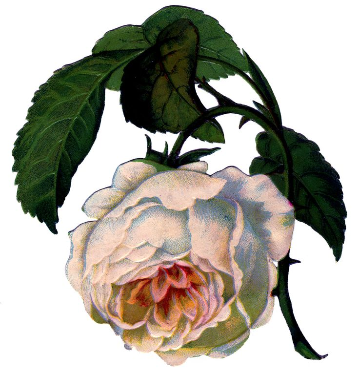 Victorian Image - Gorgeous White Rose