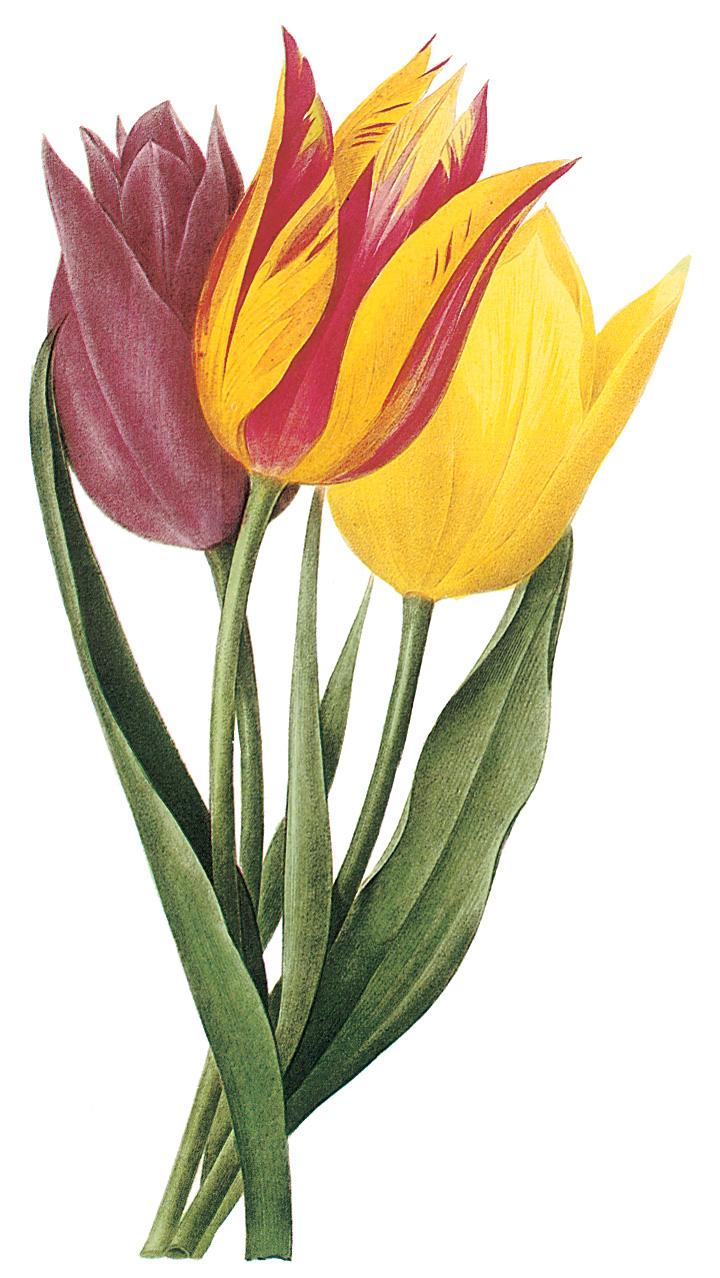 Vintage Tulip Clip Art – Clipart Download