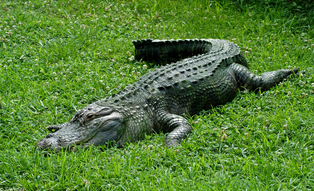 Chinese Alligator Facts For Kids