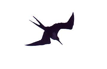 Frigate Bird Tattoo - Cliparts.co