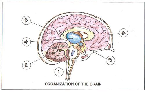 Printable Blank Brain - Cliparts.co