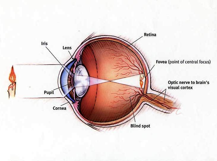 Eye diagram cliparts eyediagram 2 eye diagram optometrist miami same day ccuart Images