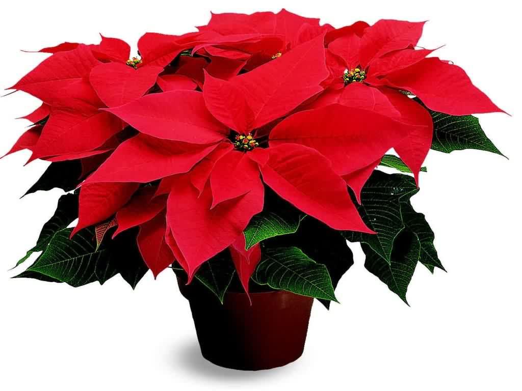 Цветок рождественская звезда и как ухаживать