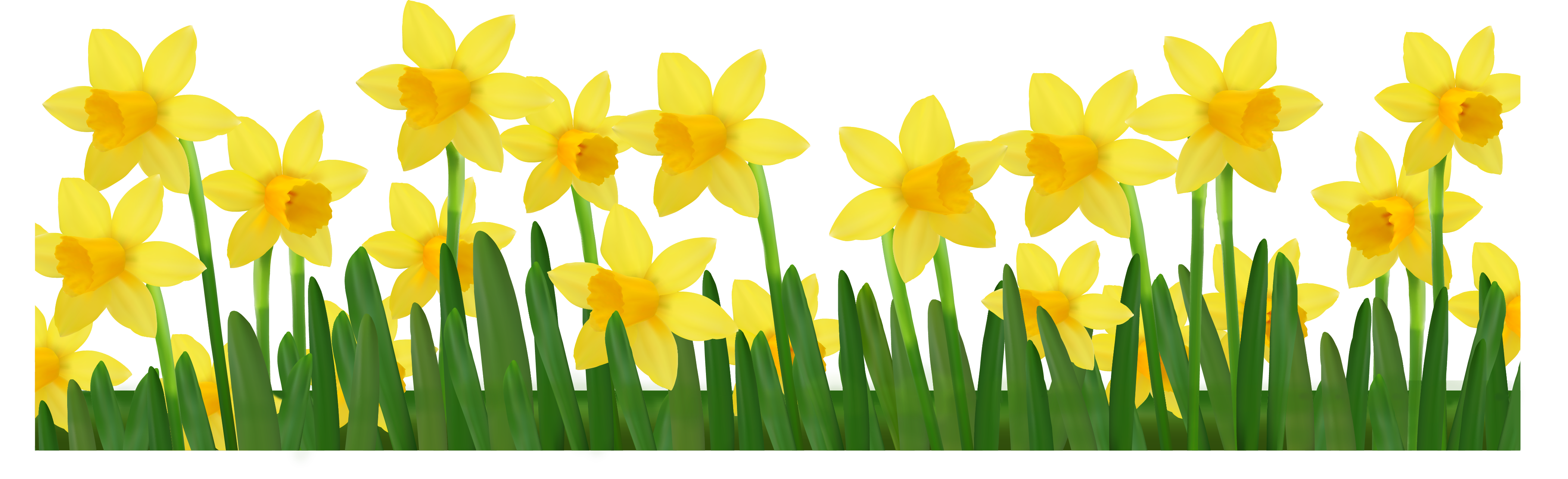 Daffodils Picture - Cliparts.co