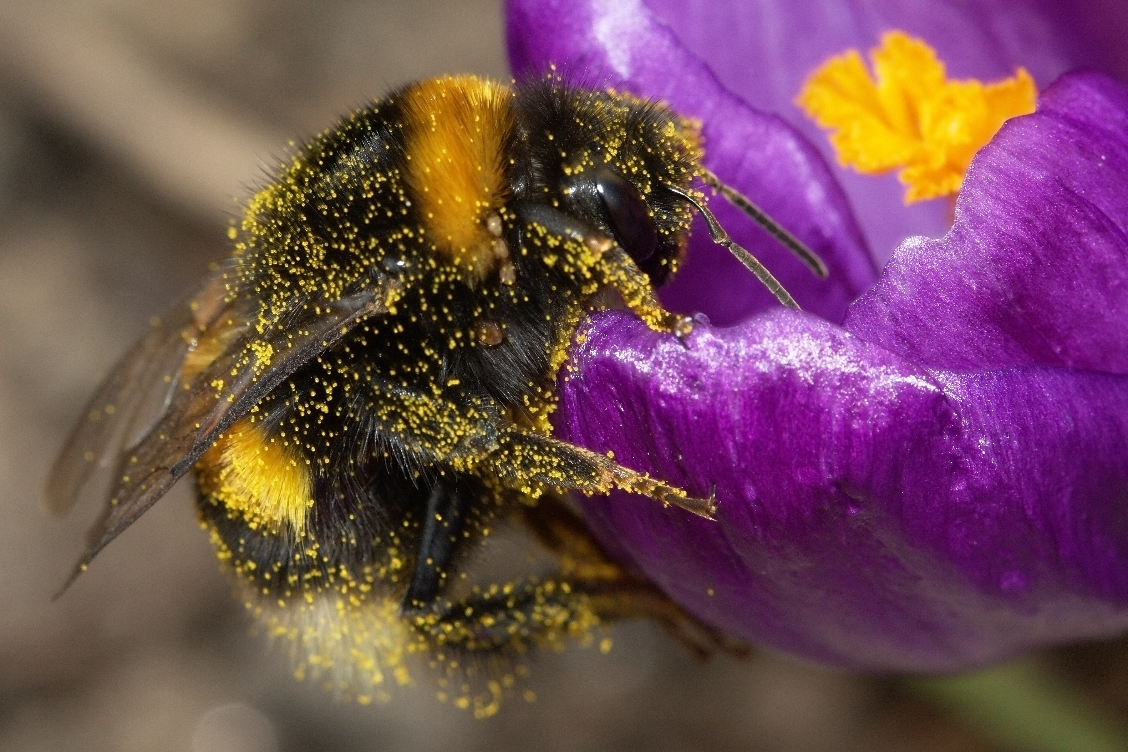 File:Bumblebee-2009-04-19-01.jpg - Wikimedia Commons