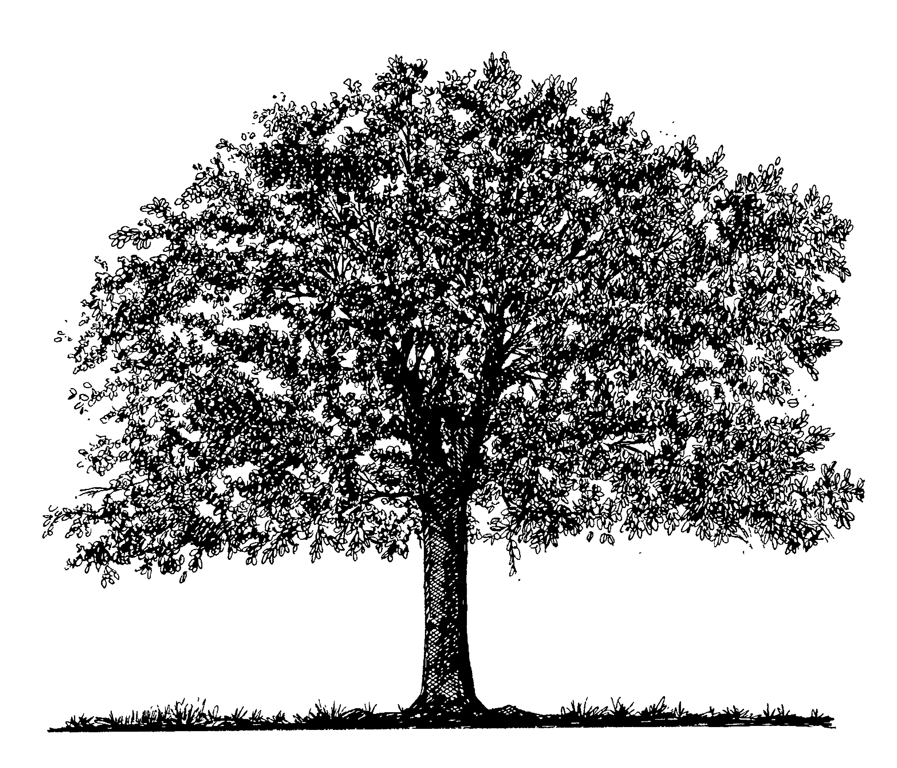 Line Drawing Images Of Trees : Tree drawings cliparts