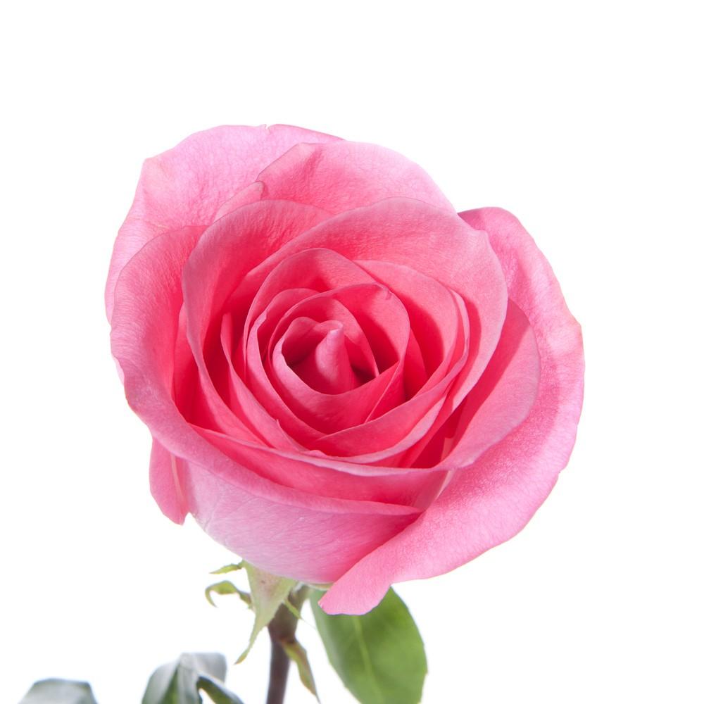 single pink flower rose - photo #20