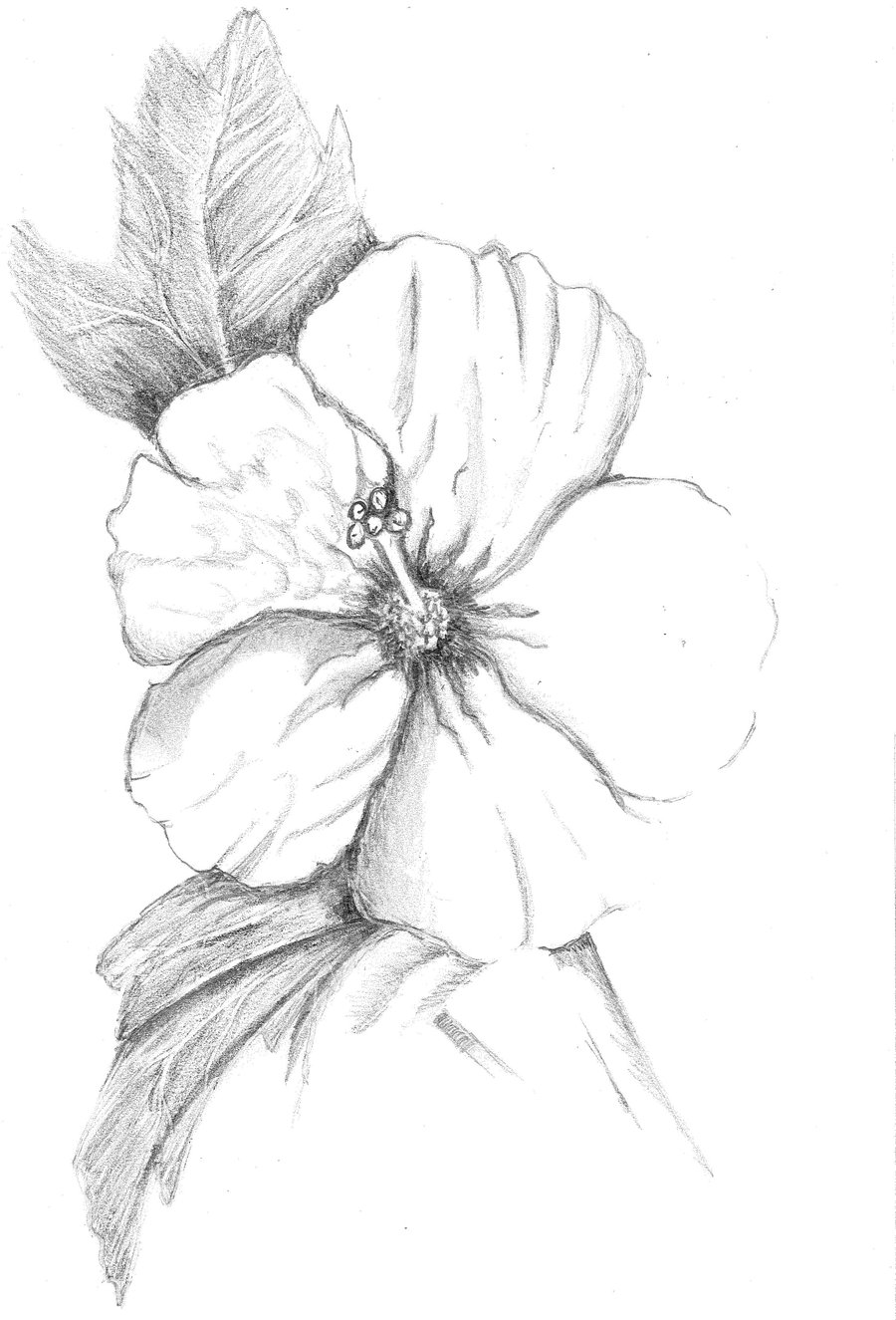 Hibiscus Flower Drawing Cliparts