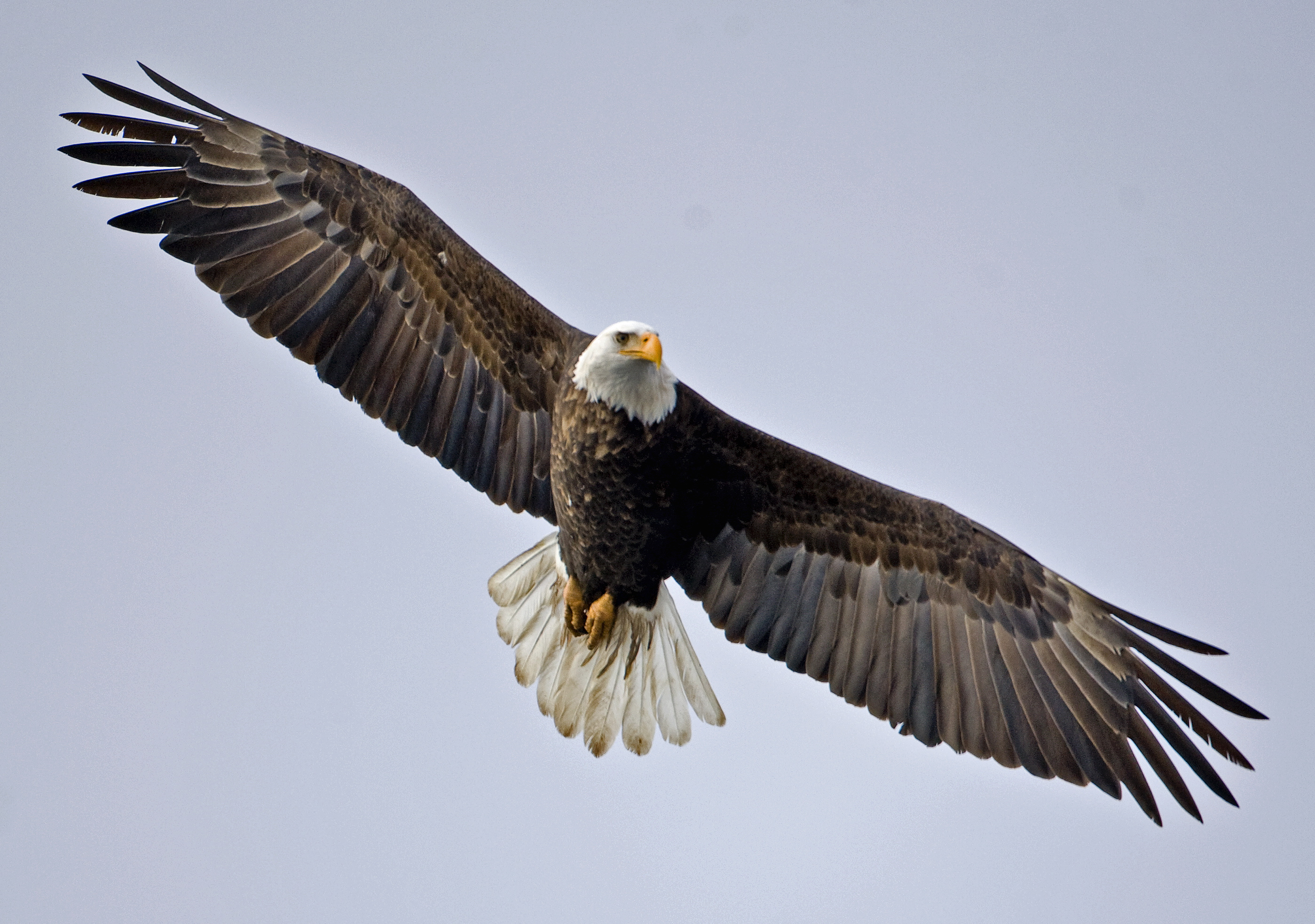 Exploring the population dynamics of wintering bald eagles through ...