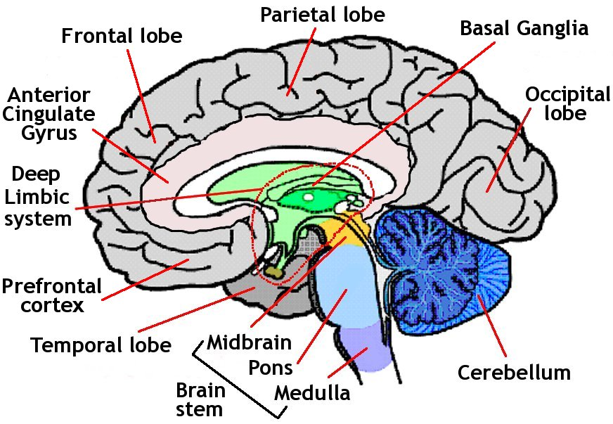 Inside The Human Brain For Kids Human Brain Diagram For Kids