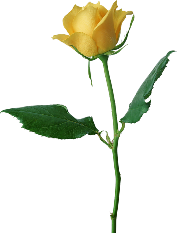 Large Yellow Rose PNG Clipart