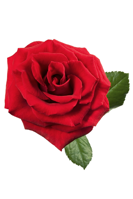 red roses clipart - photo #27