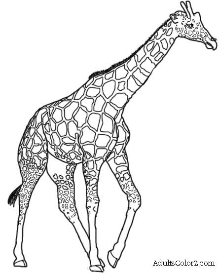 Line Drawings Of Zoo Animals : Giraffe line drawing cliparts