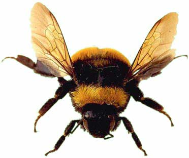 Bumble Bees - The Friendly Bee | Animal Pictures and Facts ...