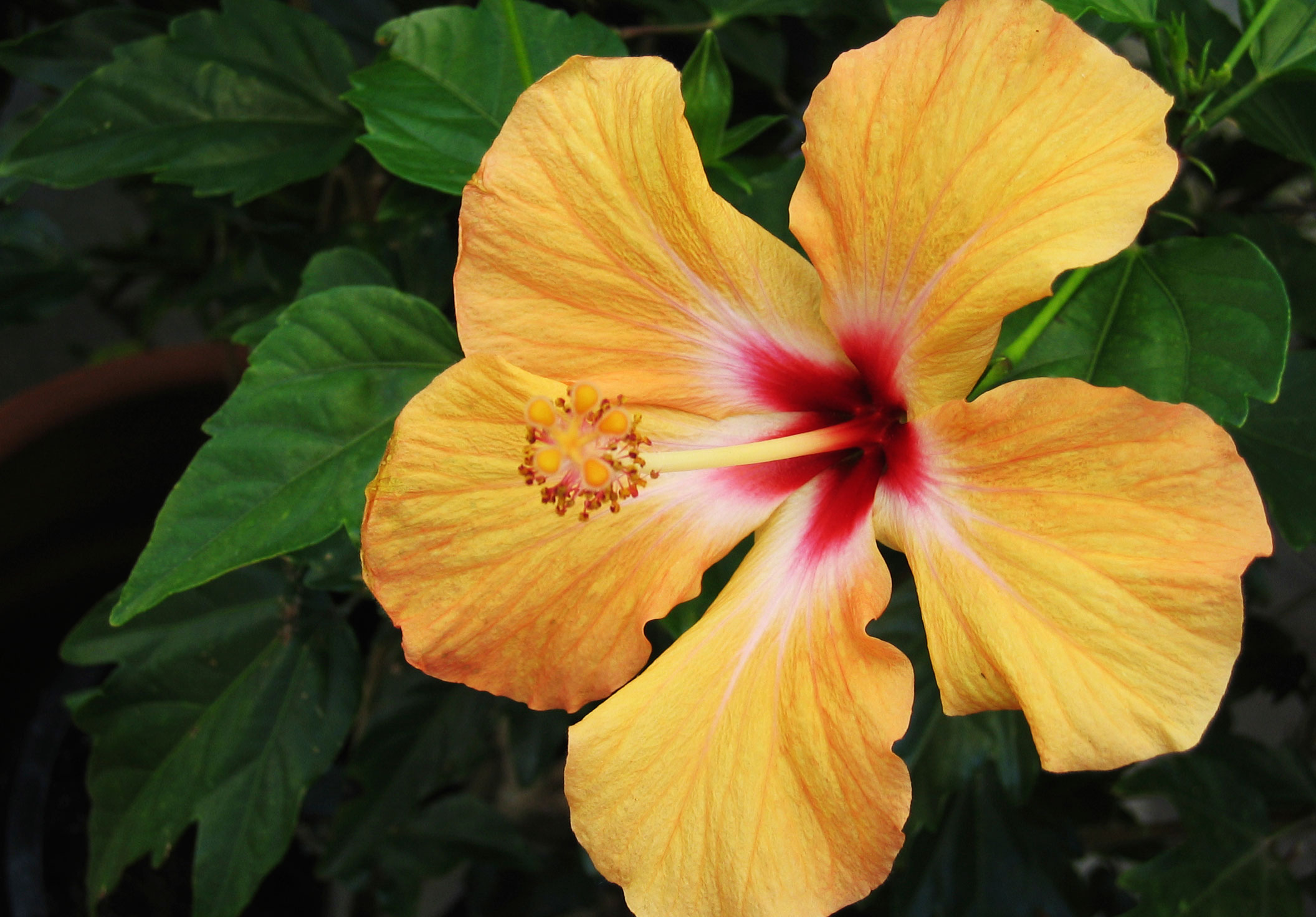 Tips on caring for hibiscus plants for Easy to care for outdoor flowering plants