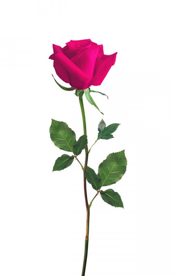 single pink flower rose - photo #37