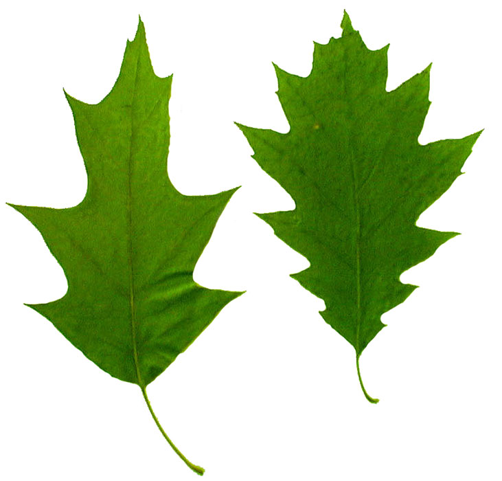 Watch more like California Oak Trees Leaves Clip Art