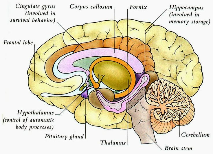 Hd Wallpapers Labeled Diagram Of The Brain Edesigncdhd