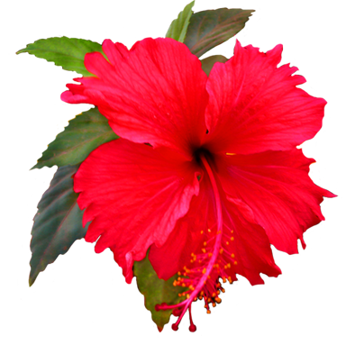Pix For > Hibiscus Clipart Png